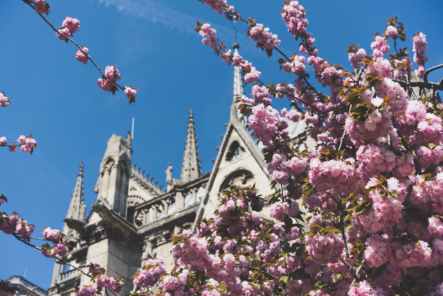 ノートルダムと桜